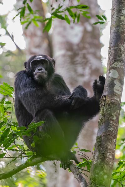 Uganda_T_Chimps-389.jpg