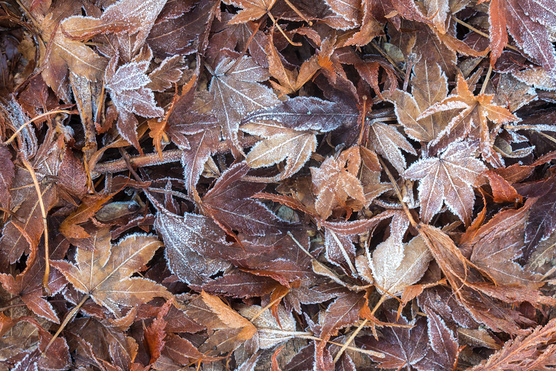 Frosty Leaves of Autumn