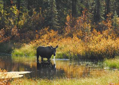Moose, Elk, Caribou, and Deer