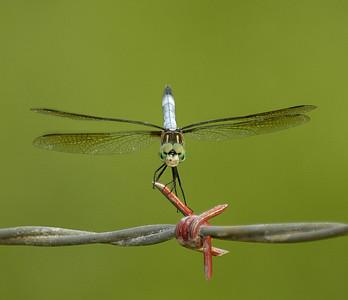 Libellulidae (Skimmers)