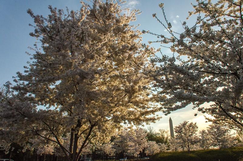 Cherry Blossom Tidal Basin Early Morning -33.jpg
