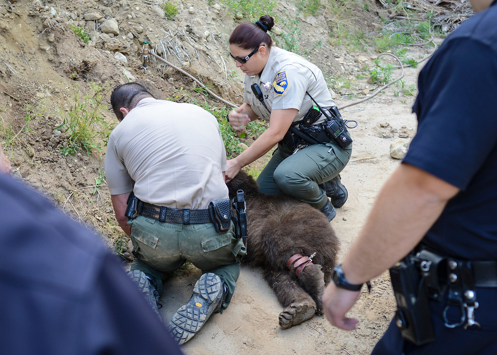 . Game wardens prepare a tranquilized bear captured in the Shadow Hills area of Sun Valley early Wednesday morning.  The LAPD tracked the bear down and fish and game was able to dart the bear and to be released back into the wild.  Photo by David Crane/Staff Photographer