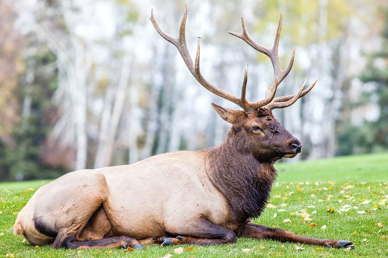 Waskesiu Elk 10-5-18-2.jpg