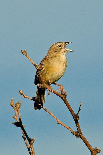 Sparrow - Botteri's - Madera Canyon - AZ