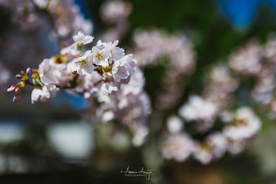 Sakura March 2020
