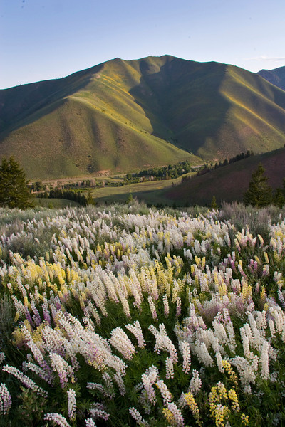 """Lush lupines and Triple Peak make for stunning scenery along the Proctor Mtn Loop """"Stairway to Heaven"""" trail."""