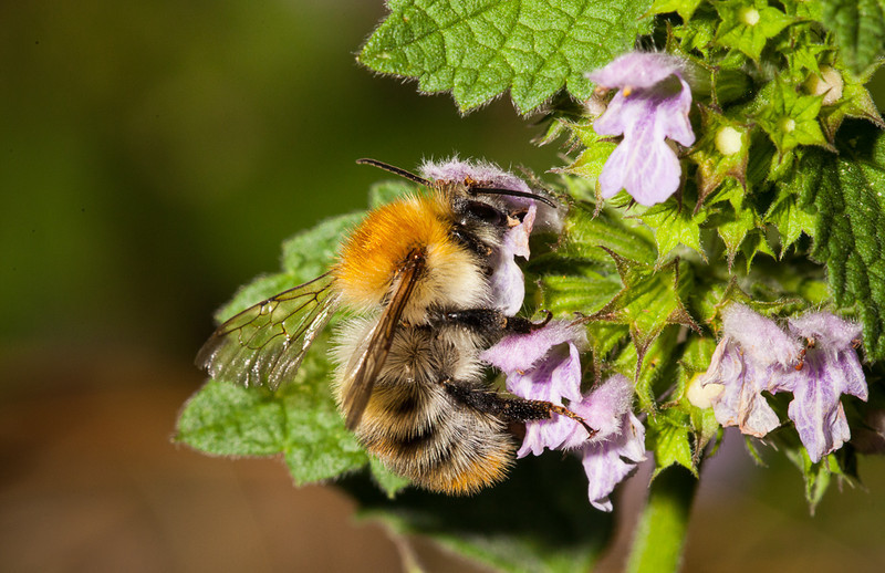Bumblebee on spotted deadnettle (lamium maculatum).