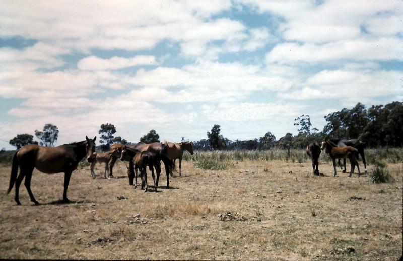 1962-1 (20) Horses @ Stradbroke.JPG