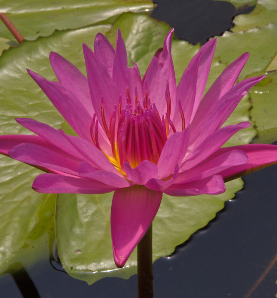 20080103_1239 water lily