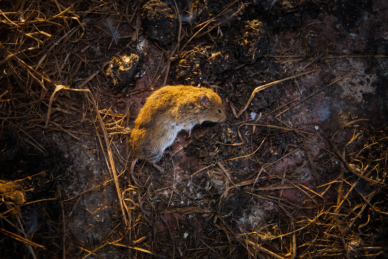 Dead vole dropped by barn owl