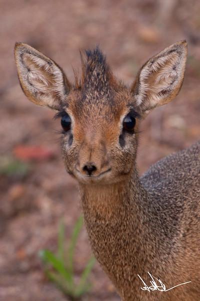 AntelopeS-14.jpg