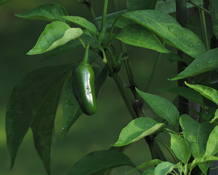 sx50_flora_pepper_025.jpg