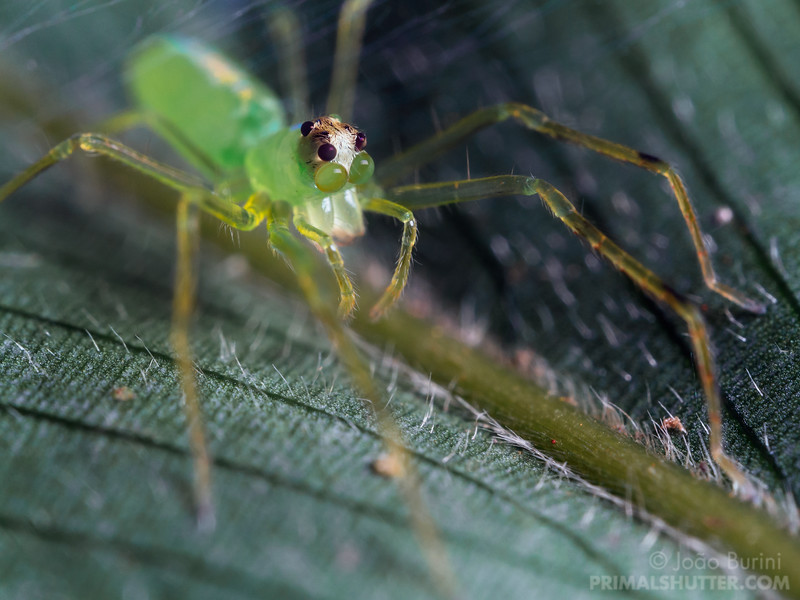 Green jumping spider on a leaf