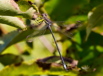 Great Spreadwing