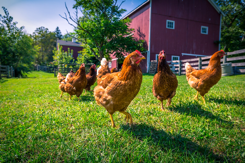 chickens farm 592A0532.jpg