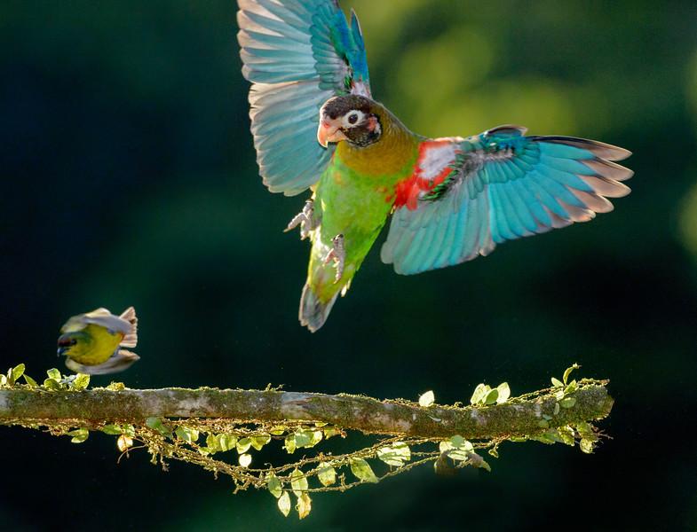 brown-hooded parrot (Pyrilia haematotis