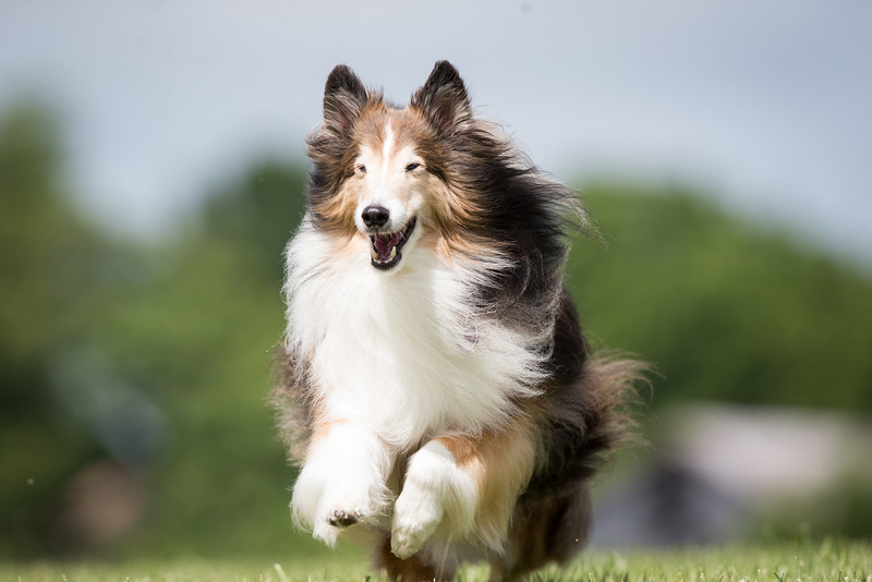 14_0617_Hawkshelties_ww-5686.jpg