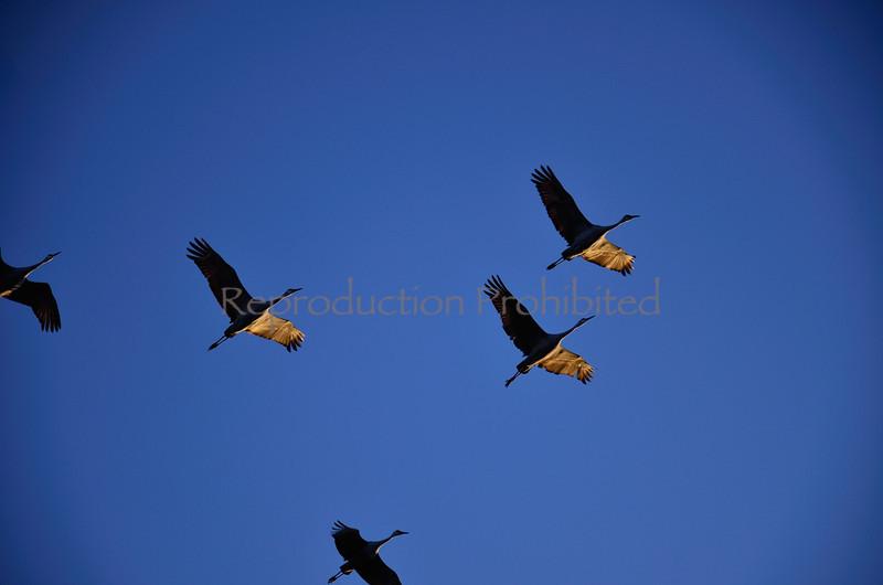 Morning Flight Snow Cranes, Monte Vista National Wildlife Refuge, CO. Winter 2011