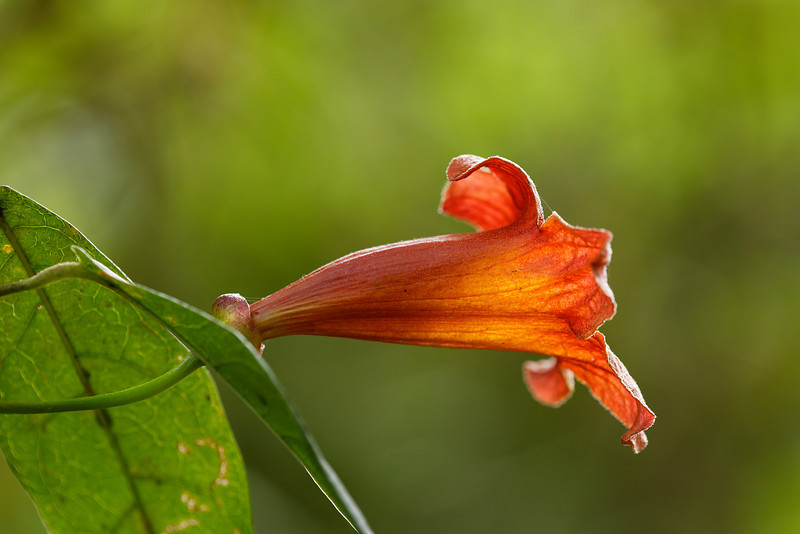 Crossvine (Bignonia capreolata)