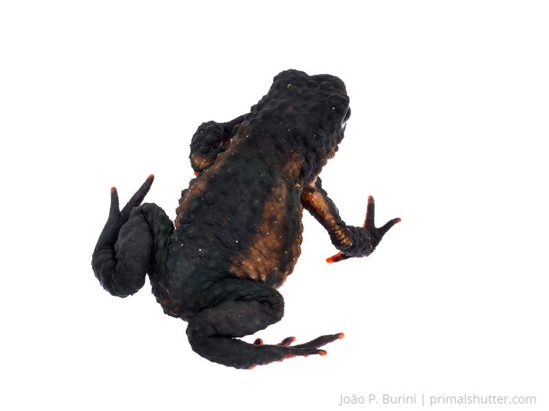 Maldonada redbelly toad (Melanophryniscus moreirae) Atlantic forest (rock outcrop vegetation) Itatiaia National Park, Itamonte MG, Brazil March 2018