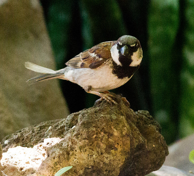 House Sparrow Leucadia 2011 06 25-1-1.CR2