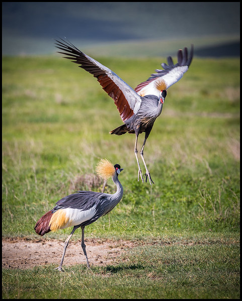 Grey crowned cranes, Ngorongoro Conservation Area