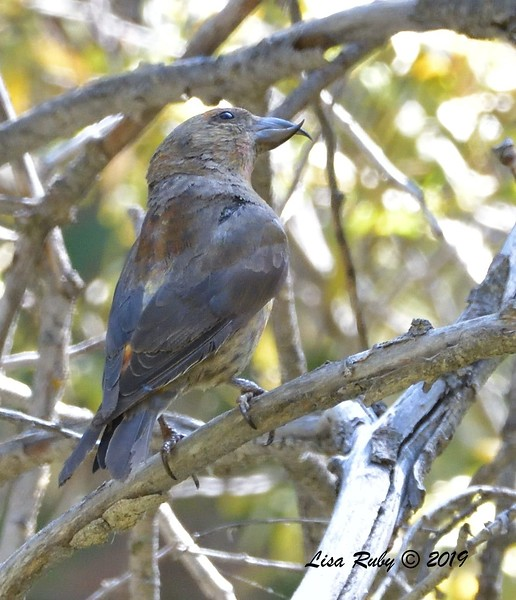 Red Crossbill #3, 10:11 - 9/1/2019 - Agua Dulce Creek, Mount Laguna