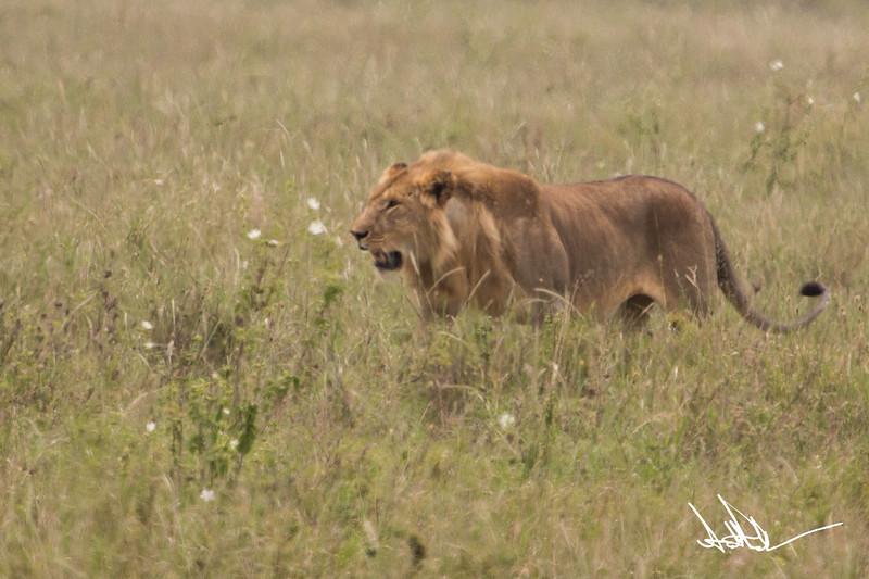 Lions Serengeti - S-6.jpg