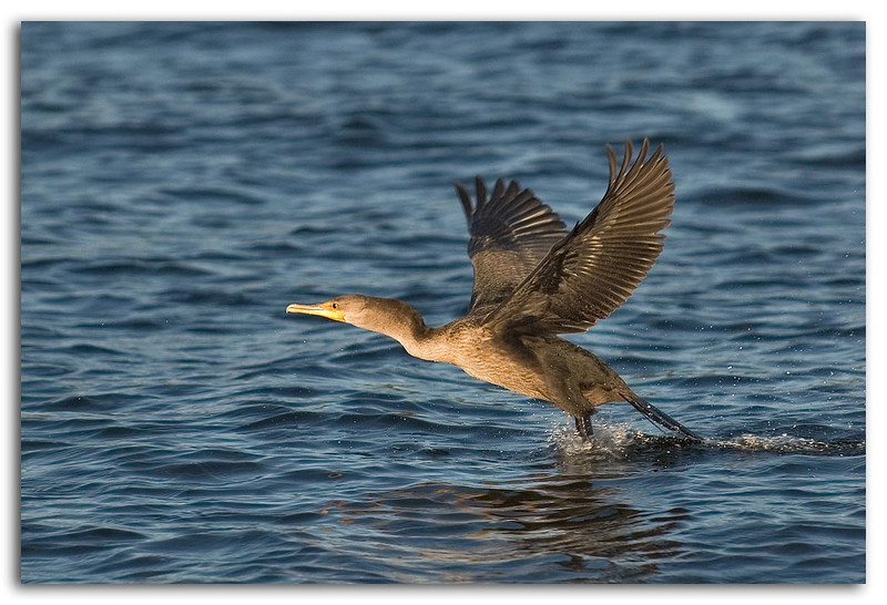Departing Cormorant.jpg