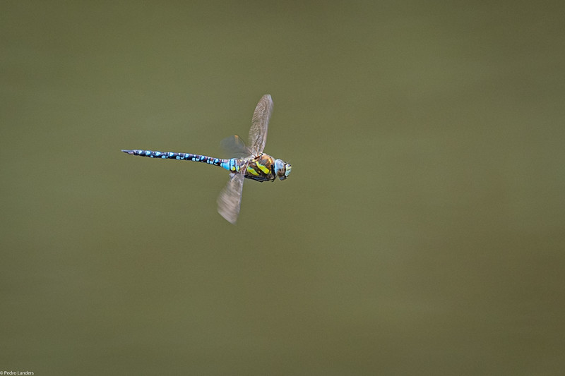 Southern Hawker in Flight