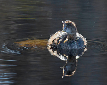 Pied-billed Grebe bites the big one