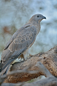 Oriental Honey Buzzard (Pernis ptilorhynchus) in Ranthambore national park