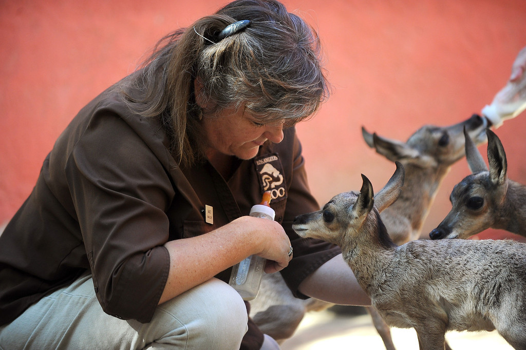 . Animal Keeper Nancy Thomas feeds baby Penisular pronghorns at the Los Angeles Zoo Thursday, April 18. 2013.  Five new pronghorn babies were born between April 3-9, 2013.  The animals, who are native to Baja Mexico, are a critically endagered species.(Andy Holzman/Daily News Staff Photographer)(Andy Holzman/Staff Photographer)