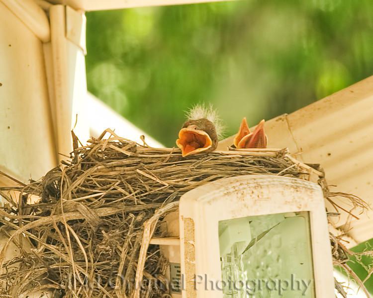 026 Baby Robins Spring 2013.jpg