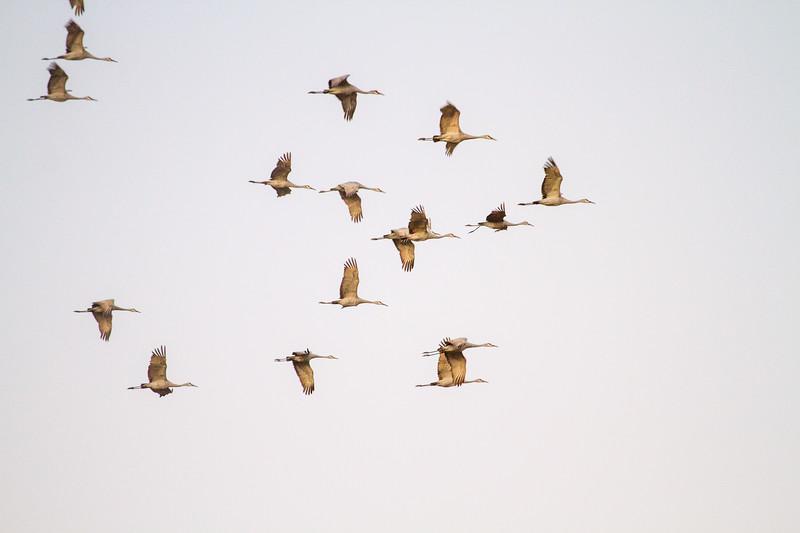 Sandhill Crane flock flying flight Sherburne National Wildlife Refuge Sherburne County MNIMG_1788.jpg