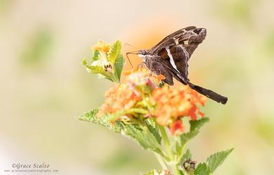 White-lined Long Tail Skipper Butterflies