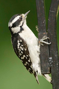 Now the female Downy Woodpecker doesn't have the red patch on her head.  And this one seems to be confused as she can't think that this is a tree.