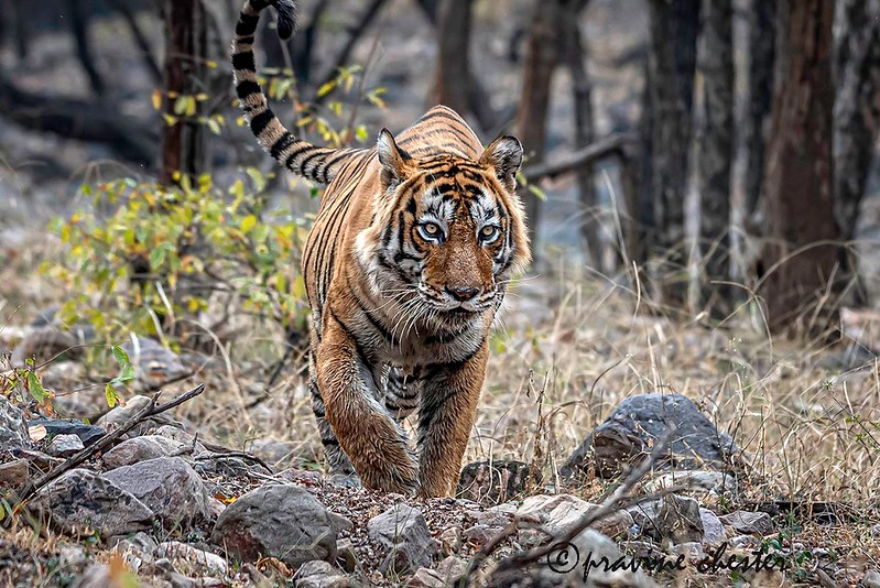 Male Tiger Kumbha on a walk