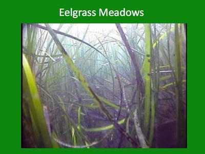 Eelgrass Meadows