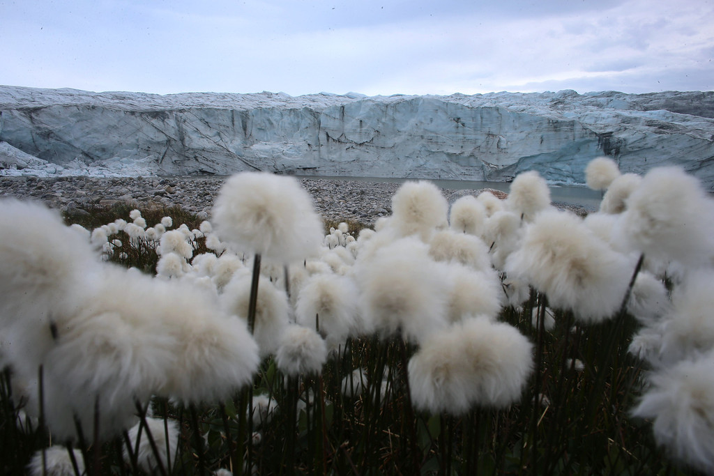 . Blooming flowers are seen near the glacial ice toe on July 14, 2013 in Kangerlussuaq, Greenland.  (Photo by Joe Raedle/Getty Images)