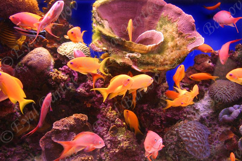 פזית ים סוף.jpg