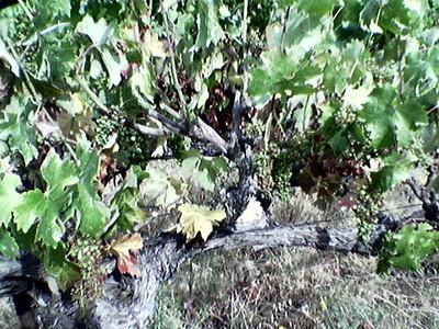 sick vines