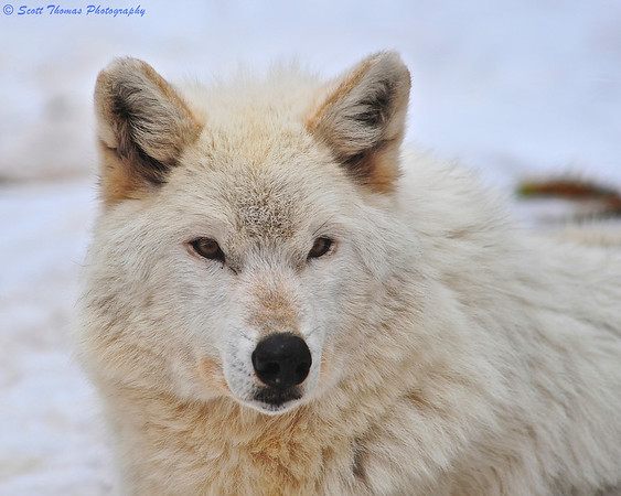 White timber wolf (Canis lupus) at the Rosamond Gifford Zoo in Syracuse, New York.