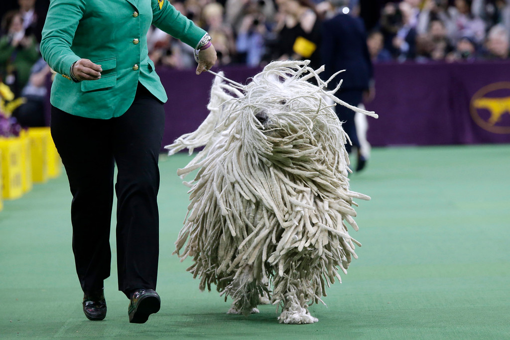 . A Komondor is shown in the ring during the working group competition at the Westminster Kennel Club dog show, Tuesday, Feb. 17, 2015, at Madison Square Garden in New York. (AP Photo/Mary Altaffer)