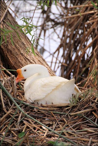Goose on nest.jpg