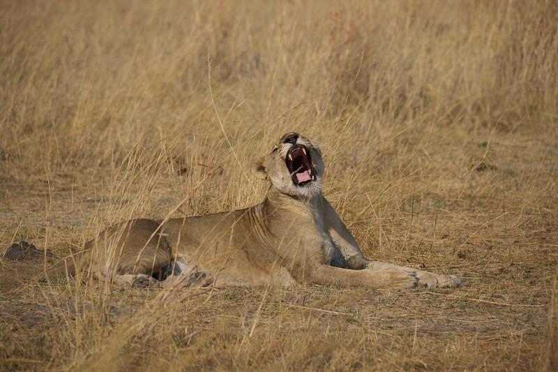 Lion pride watching buffalo, Selinda Explorer camp, Botswana