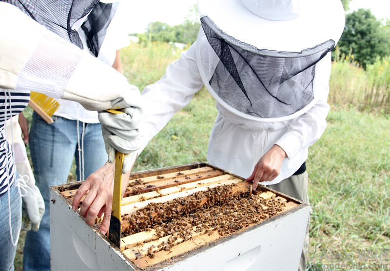 Student beekeepers at the University of Illinois inspect a hive.