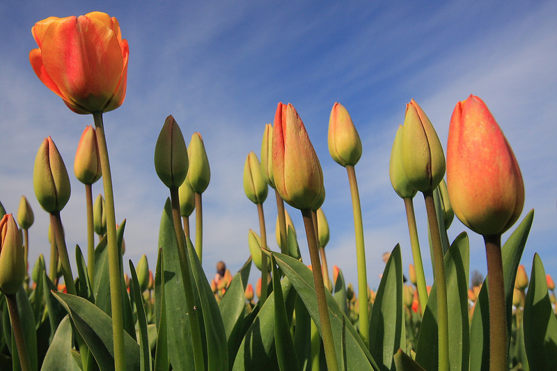 Tulips 08 024.JPG