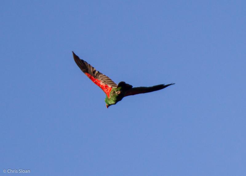 Eclectus Parrot female at Kwatu Lodge, Papua New Guinea (10-12-2013) 017-284.jpg