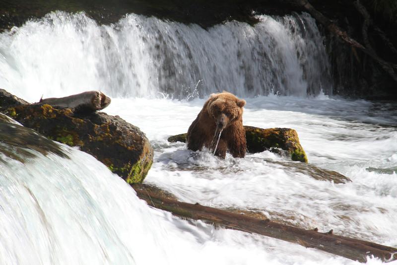 Katmai Bear12.jpg
